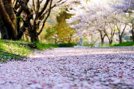 Akaeki_sakura